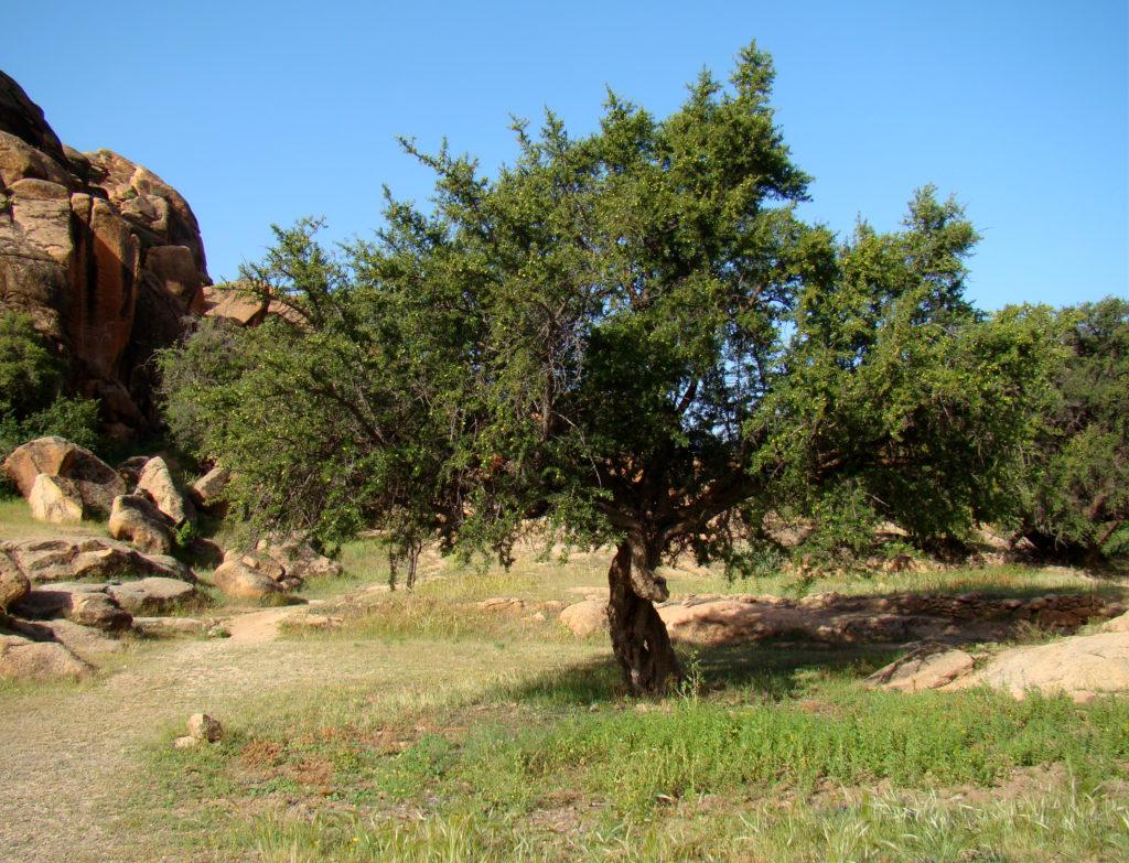شجرة الأركان أو الأرجان أو الأرغان