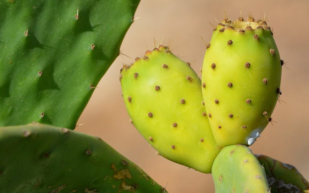 Prickly Pear Seed Oil Benefits and Uses